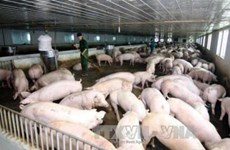 """Cục Chăn nuôi: Còn tồn đọng hơn 1,5 triệu con lợn cần """"giải cứu"""""""