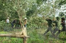 Cục Trồng trọt yêu cầu khắc phục thiệt hại cây cao su do bão số 2