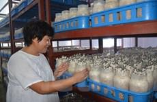 14 năm để hiện thực hóa dây chuyền trồng nấm công nghệ cao