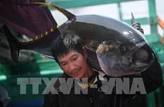 Sản lượng cá ngừ đại dương giảm gần 17% do thời tiết phức tạp