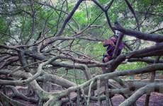 [Photo] Giàn Gừa trăm tuổi hình thù kỳ quái ở miền Tây sông nước