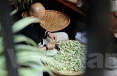 [Photo] Chuyên gia hướng dẫn cách ướp trà hoa bưởi của người Hà Nội