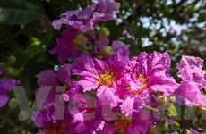 [Photo] Mùa Hè Hà Nội rực rỡ với những hàng hoa đủ sắc màu