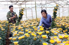 Đà Nẵng: Các vùng chuyên trồng hoa nhộn nhịp đón Tết