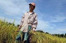 Sản lượng lúa của Philippines vẫn tăng bất chấp bão Haiyan