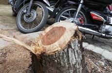 Phạt tù đối tượng trong nhóm trộm gỗ sưa ở Hà Nội