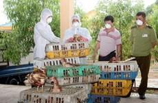 Tiêu hủy hàng nghìn con giống gia cầm nhập lậu từ Trung Quốc