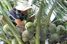Nông dân Tiền Giang phấn khởi vì giá dừa khô tăng mạnh trở lại