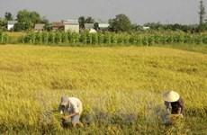 Tây Ninh: Lúa ven sông Vàm Cỏ Đông được mùa, được giá
