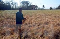 Nhiều diện tích lúa và cây trồng có nguy cơ mất trắng vì hạn mặn