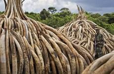 Kenya tiến hành tiêu hủy hơn 100 tấn ngà voi và sừng tê giác