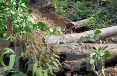 Rừng ở Măng Cành bị phá ngổn ngang, chính quyền không hay biết