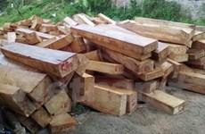 Khởi tố vụ khai thác trái phép rừng pơmu quý hiếm tại Quảng Nam