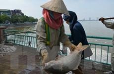 [Photo] Cá chết bất thường nổi trắng Hồ Tây, bốc mùi hôi tanh
