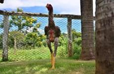 """""""Choáng"""" với chú gà trống khổng lồ có chiều cao tới 1,24 mét"""