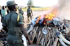 Tanzania xét xử trùm buôn lậu ngà voi ở khu vực Đông Phi