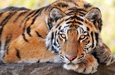 Châu Á nên đóng cửa tất cả các trại hổ trong vòng ba năm tới