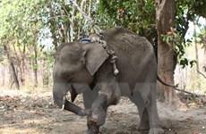 Đồng Nai: Lần đầu tiên voi tại khu vực bán hoang dã mang thai