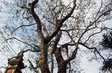 Bắc Ninh: Tạm dừng khai thác cây gỗ sưa 200 tuổi tại Đông Cốc