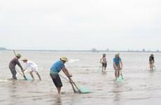 Ngao chết hàng loạt ở Thanh Hóa, loại trừ nguyên nhân dịch bệnh