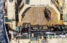"""Australia """"thất vọng sâu sắc"""" khi Nhật Bản tiếp tục đánh bắt cá voi"""