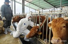 Hàn Quốc xác nhận một trường hợp nhiễm bệnh lở mồm long móng