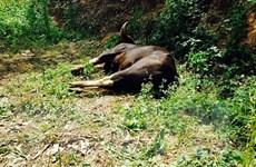 Bò tót nặng 800kg chết tại chỗ vì lao thẳng vào chiếc xe tải