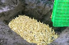 Bắt giữ và tiêu hủy 2.500 con vịt giống nhập lậu từ Trung Quốc