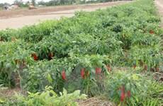 Thị trường Trung Quốc không nhập hàng, nông dân chịu mùa ớt... đắng