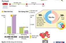 [Infographics] Bắc Giang, Hải Dương được mùa vải thiều sớm