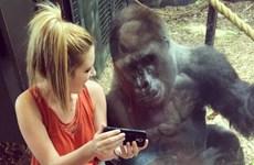 Chú khỉ đột thích chụp ảnh selfie, xem video trên điện thoại di động