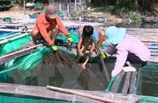 Tìm ra nguyên nhân khiến cá nuôi trong đầm Ô Loan chết hàng loạt