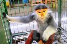 Bàn giao cá thể voọc chà vá chân nâu cho Vườn quốc gia Cúc Phương