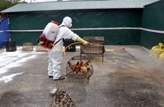 Hải Phòng tiến hành tiêu hủy 3.000 con gia cầm nhiễm cúm A/H5N6