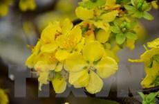 Trưng bày 5.000 cành hoa anh đào và 100 cây mai vàng Yên Tử