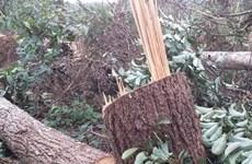Đắk Nông: Phạt tù các đối tượng hủy hoại rừng ở Đắk G'long