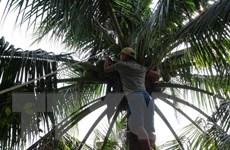 Thực hư thông tin cây dừa xiêm ở Quảng Ngãi bị chết hàng loạt