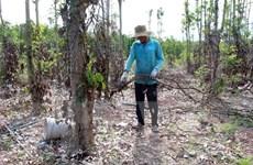 Bà Rịa-Vũng Tàu: Thương lái Trung Quốc lùng sục thu mua rễ cây tiêu