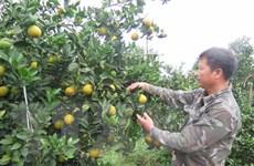 Ồ ạt mở rộng diện tích trồng cam, bưởi: Nguy cơ được mùa, mất giá