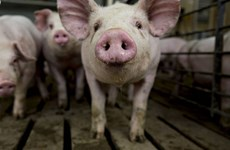 Dịch bệnh tả lợn không có khả năng lây truyền sang người