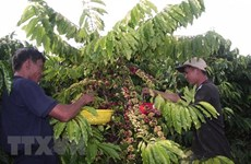 Đắk Lắk: Giá càphê xuống thấp, nông dân hạn chế tái canh