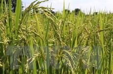 Nguồn cung khan hiếm, giá lúa gạo ở ĐBSCL có xu hướng tăng