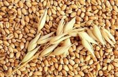 Tạm thời chưa tái xuất lúa mỳ nhiễm cỏ kế đồng từ đầu tháng 11