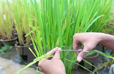 Đưa giống lúa chịu phèn trên vùng đất Tháp Mười vào sản xuất