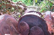 Gỗ nghiến tiếp tục bị lâm tặc chặt hạ tại rừng đặc dụng ở Hà Giang