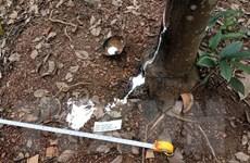 Làm rõ vụ chặt phá vườn cao su của người tố cáo nạn phá rừng