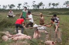 Tiêu hủy 4 tấn lợn bị lở mồm long móng đang được chuyển đi lò mổ