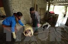 Cả nước còn 24 ổ dịch lở mồm long móng tại 6 tỉnh, thành phố