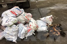 Bắt giữ vụ vận chuyển 1 tấn chân gia súc đã bốc mùi hôi thối