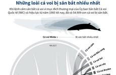[Infographics] Những loài cá voi bị săn bắt nhiều nhất thế giới